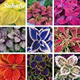Fotcus Hot Sale 200 pcs Rare Exotic Coleus Bonsai Flowers Potted Bonsai Garden Courtyard Balcony Mix Colors Begonia Flower SeedPlants - (Color: Mixed)