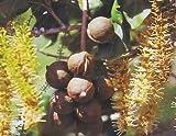 """HAWAIIAN MACADAMIA NUT TREE PLANT 2"""" POT ~ GROW HAWAII"""