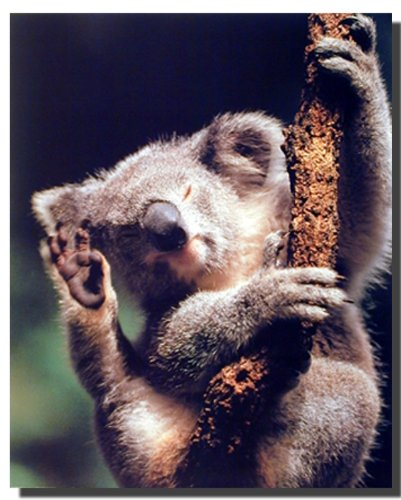 Koala Bear Holding a Tree Wildlife Cute Animal Wall Decor Art Print Poster
