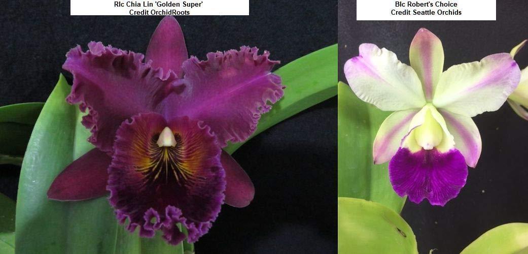 FERRY Semillas orgánicas única No Plantas: Bin C632 RLC ...