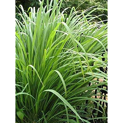 AchmadAnam - Live Plant - Grass Citronella Cymbopogon Nardus 3-Inch Deep Pot Outdoor Plant : Garden & Outdoor