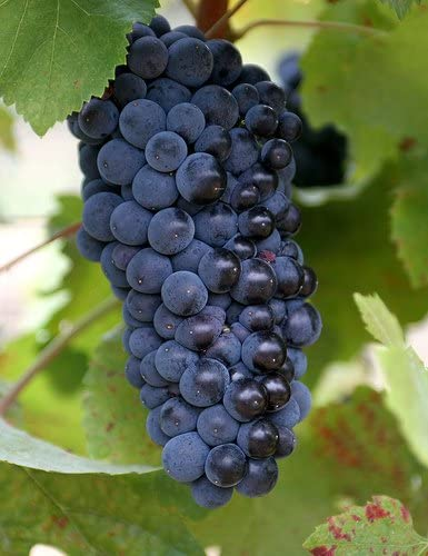 Caterpillar-Farm Rare Bangalore Blue Grapes 15 Seeds, Best