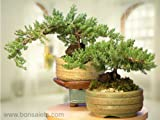 A Japanese Juniper Bonsai Tree - An Authentic Japanese Bonsai