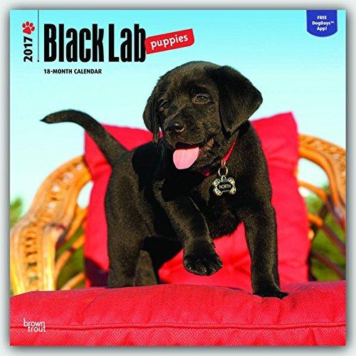 Labrador Retriever Puppies, Black 2017 Square