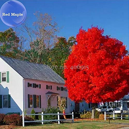 Go Garden Autumn Blaze Red Maple Tree, 20 Seeds, Clearly Superior Tree Seeds