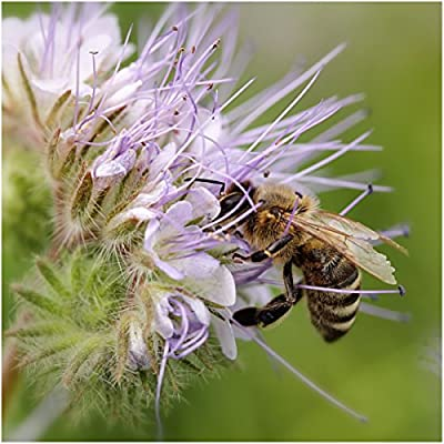 Package of 800 Seeds, Lacy Phacelia (Phacelia tanacetifolia) Open Pollinated Seeds by Seed Needs