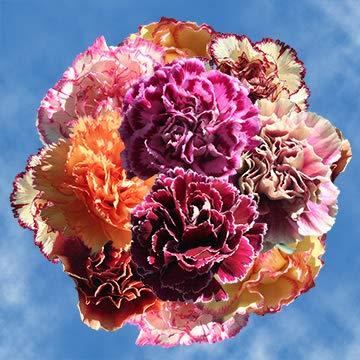 GlobalRose 100 Fresh Cut Bi-Color Carnations - Fresh Flowers For Birthdays, Weddings or Anniversary. by GlobalRose (Image #5)