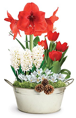 BloomingBulb 91155 Grand Holiday Pre-Planted Bulb Gift - Bulb Basket