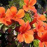 Mimulus- Monkey flower- Orange- 100 Seeds