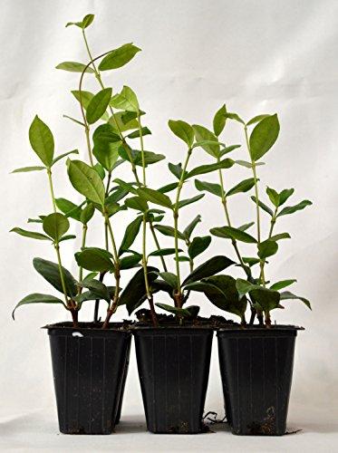 Jasmine Confederate -Favorite Intensely Fragrant Easy to Grow Vine Jasmine Starter Plants 6 (Climbing Jasmine Plant)