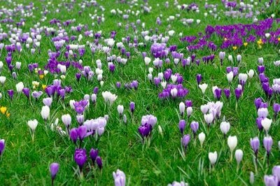 Crocus Bulbs Vernus Delft Blue Mix X 30 Amazon Co Uk Garden Outdoors