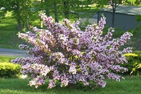 Amazon variegated weigela live plant shipped 1 to 2 feet variegated weigela live plant shipped 1 to 2 feet tall old timey favorite mightylinksfo