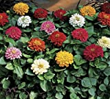 Zinnia Peter Pan Mix 1,000 seeds