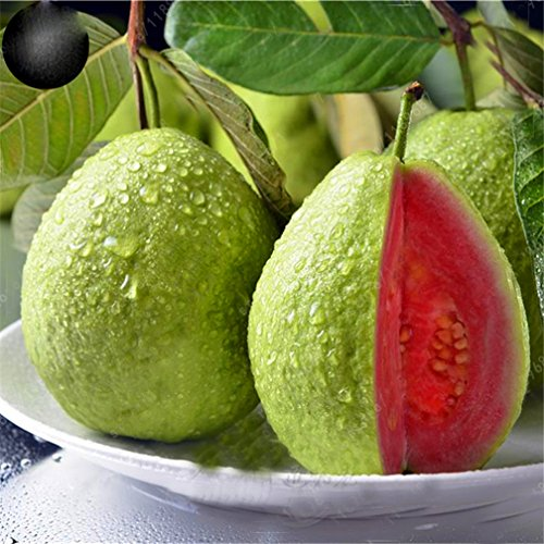 5 pcs/Bag Guava Seed Organic Vegetable Fruit Seeds Bonsai Guava Tree Plant Pot Vegetable and Fruit Seed for Home Garden
