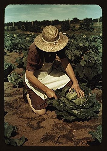 Homegrown Cabbage (Photo: Mrs Norris,homegrown cabbage,homesteader,Pie Town,New Mexico,NM,Farming)