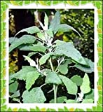 500+ Lambs Quarter Seeds ~ Delicious Baby Greens ~ Wild Spinach Goosefoot