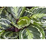 Medallion Prayer Plant - Calathea 4'' Pot - Easy House Plant From Jmbamboo