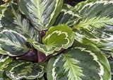 Medallion Prayer Plant - Calathea 4'' Pot - Easy