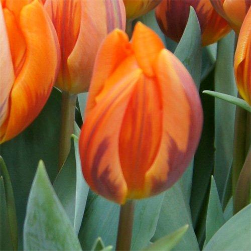 25 Quality Tulip Bulbs - Princess Irene (Orange) - Freshly Imported from Holland by Boekee's Nursery