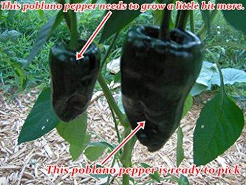Ancho Gigantea Poblano (Capsicum Annuum) 50 Heirloom Seeds