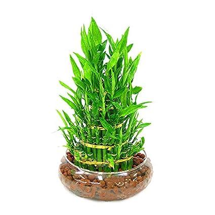 Amazon com : F T S  New 30 PCS/Pack Bamboo Bonsai Seeds DIY