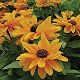 Tiger Eye Gold Rudbeckia 25 Seeds New for '09 Sun Lover