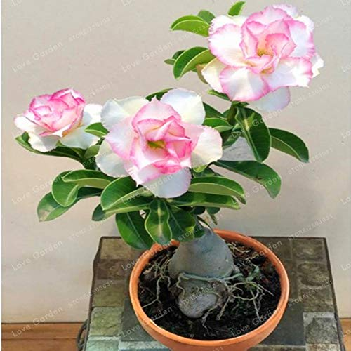 Seed - NOT Plant - Best Quality - Bonsai - Desert Rose Bonsai Potted Flowers Bonsai Adenium Obesum Indoor Bonsai Plant Mini Potted Tree for Home Garden Plant 1 Pcs ()