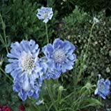 Outsidepride Scabiosa Blue - 200 Seeds