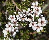 Leptospermum scoparium Manuka Tea Tree Seeds Compact Evergreen Beautiful Flowers (20 Seeds with Tracking)