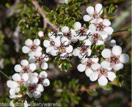 - Leptospermum scoparium Manuka Tea Tree Seeds Compact Evergreen Beautiful Flowers (20 Seeds with Tracking)