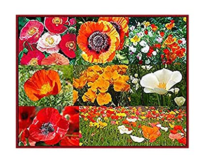 Amazon 30 000 Seeds Mixed Poppies Red Flanders Poppy