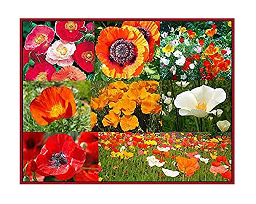 30,000+ Seeds Mixed Poppies- Red Flanders Poppy, Symbolic of WWI, Plus Shirley Poppy, and Gold, Orange, White, and Red California Poppy Seeds - Non GMO and ()