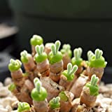 Fleshier plant New Zealand ice-plant bonsai rabbit small bear paw health and stone flowers seeds