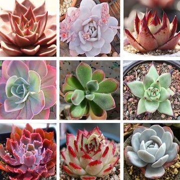 Generic Mixture Echeveria Succulent Garden Crassulaceae Perennial Herb  Plants Seeds (Pack Of 10)