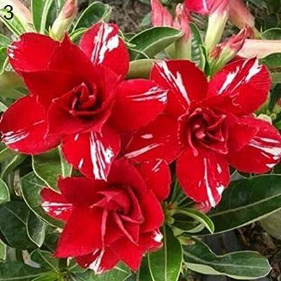 Semillas Plantas 20Pcs Adenium Obesum Desert Rose Semillas de Plantas de Flor de Bonsai Oficina Jardín Decoración - 3# Desert Rose Semillas: Amazon.es: Deportes y aire libre