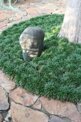 Classy Groundcovers - Ophiopogon japonicus 'Nana' (Dwarf Mondo Grass, Japonica, Dwarf Lilyturf, Monkey Grass, Kyoto) {54 Pots - 2 1/2 in.}