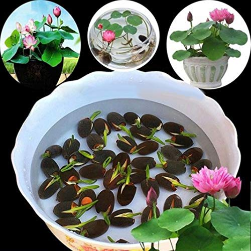10Pcs Water Lily Flower Seeds Ornamental Plant Home Balcony Garden Office Decoration – Water Lily