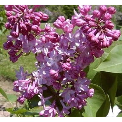 SYRINGA \'BELLE DE NANCY\'- LILAC -FRAGRANT-STARTER PLANT : Garden & Outdoor [5Bkhe1902200]