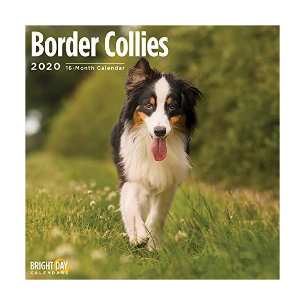 2020 Border Collies Wall Calendar by Bright Day, 16 Month 12 x 12 Inch, Cute Dogs Puppy Animals Colley 1