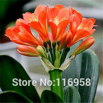 - All Chinese know famous Flower Bush Lily's Seed also named Clivia miniata Regel/Kaffir Lily Easy plant beautiful Leaf & Flower