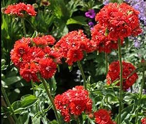 MALTESE CROSS Lychnis Chalcedonica - 6,000 Flower Seeds