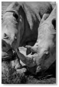 Rhinoceros White Rhino Pair Black and White Journal: A Blank Lined Journal For Writing and Note Taking