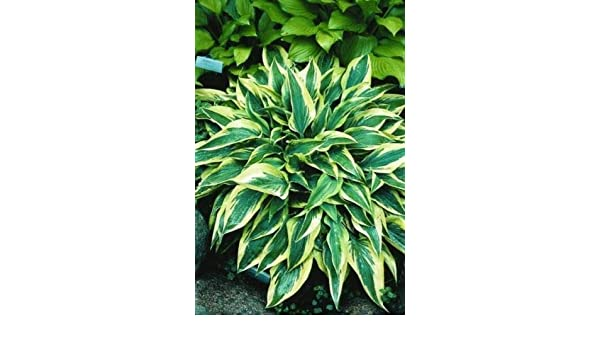 HOSTA Wolverine Bare ROOT Large Two Year Old Plant Spring 2019 Shipping