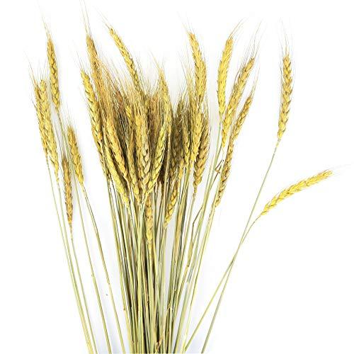 BeautyMood-60PCS-Golden-Dried-Natural-Wheat-Sheave-Bundle-Wheat-Bundle-Dry-Grass-Bouquet-Premium-Fall-Arrangements-DIY-Home-Kitchen-Table-Wedding-Flower-Bouquet-Centerpieces-Decorative