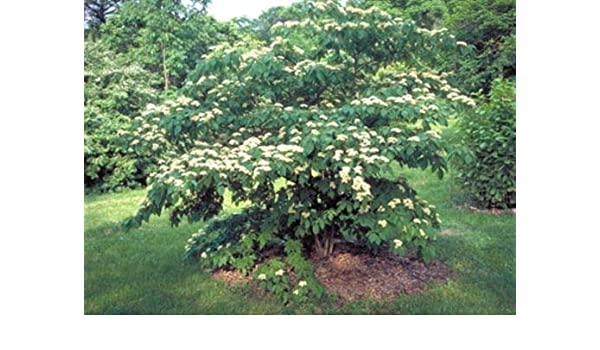 Amazon Com Cornus Controversa Wedding Cake Tree 20 Seeds Fine