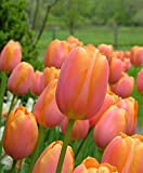 10 Bulbs - Tulip Dordogne - 12/+cm - Bloom late Spring