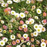 Outsidepride Erigeron Karvinskianus - 1000 Seeds