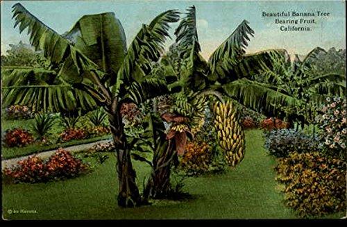 (Beautiful Banana Tree Bearing Fruit Scenic California Original Vintage Postcard)