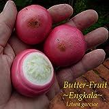 ~ENGKALA~ Butter-Fruit Tree Litsea garciae LIVE RARE BORNEO Live Potd sml PLANT