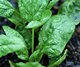 Search : Organic Spinach Bloomsdale Longstanding Heirloom Seeds - 2 SEED PACKETS! - Over 650 Open Pollinated Non-GMO USDA Organic Seeds